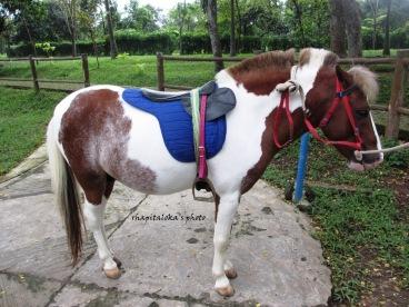 kuda ponny